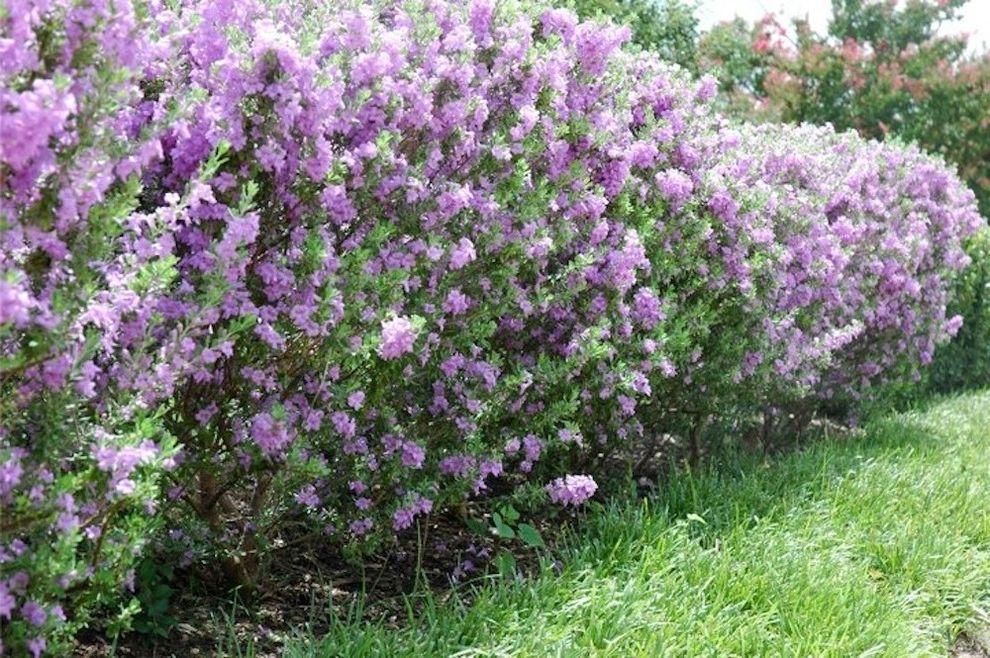 Esperanza Plant with Traditional Landscape Also Flowering Shrubs Purple Flowers Shrubs