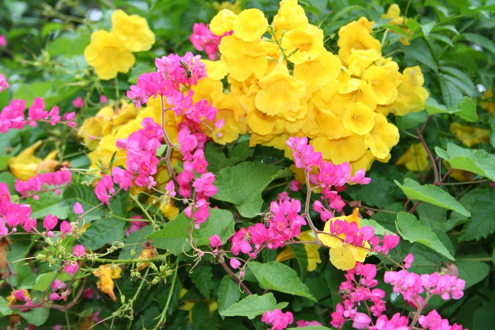 Esperanza Plant with Traditional Landscape  and Butterfly Gardens Native Plant Perennial Garden