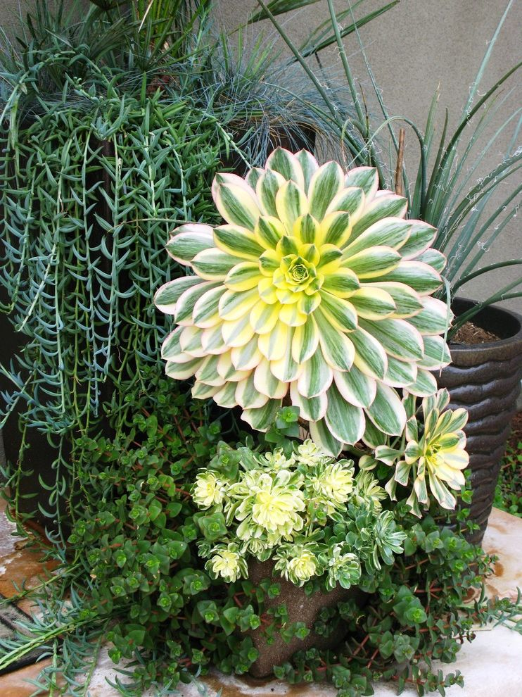 When to Plant Sunflowers with Contemporary Landscape Also Aeonium Container Plants Low Water Potted Plants Succulents