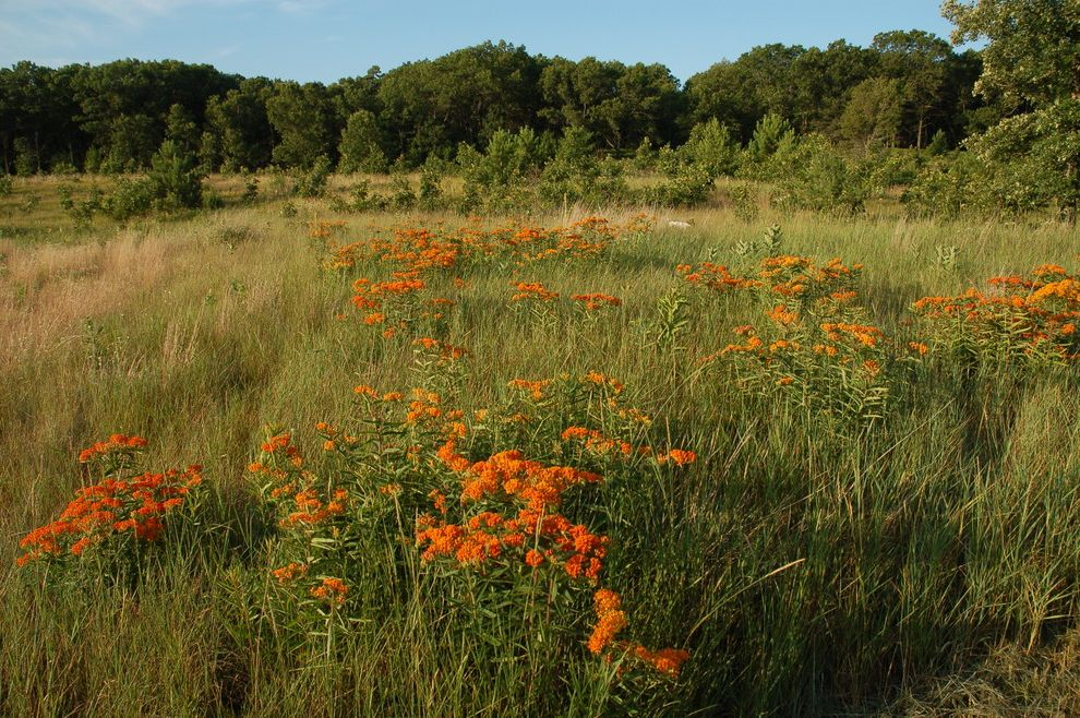 When to Plant Sunflowers with Traditional Landscape  and Butterfly Prairie Butterflyweed Dry Soils Orange Flowers Prairie